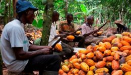 Ambazonian farmers abandon cocoa plantations amid crackdown