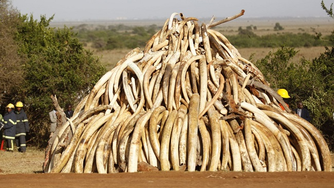French Cameroun: Customs seize record amount of ivory tusks