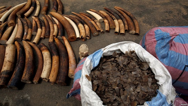 Biya regime investigates illegal ivory, Pangolin scales bound for China