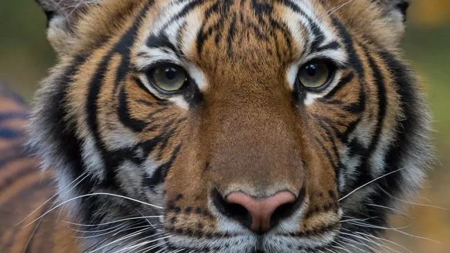 A tiger at the Bronx Zoo in New York City tests positive for coronavirus